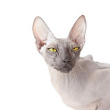 White background with Donsphinx cat Stock Image