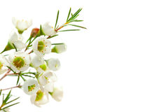 White background with white flower Stock Image