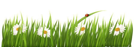 White background flowers daisies green grass. Illustration of white flowers scattered through green grass isolated on white Royalty Free Stock Photography