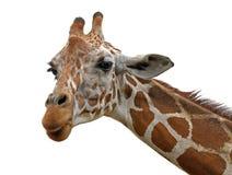 On white background Giraffe head close-up. Wildlife Giraffe realistic head close-up on white background Royalty Free Stock Photo
