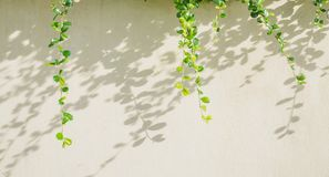 White background with green leaf and shadow leaves Royalty Free Stock Image