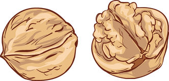 White background Hand drawn walnut cartoon vector Royalty Free Stock Images