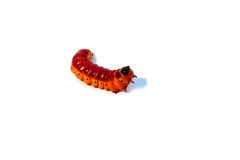 White background and a large Burgundy caterpillar Stock Images