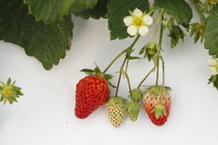 In a white background, with mature and is not yet ripe strawberry. In a white background, the green vine growing mature and is not yet ripe strawberry Stock Photography