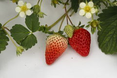 In a white background, with mature and is not yet ripe strawberry. In a white background, the green vine growing mature and is not yet ripe strawberry Royalty Free Stock Image