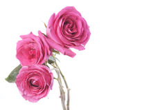 White background with pink roses bouquet Royalty Free Stock Photo