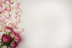 White background of rose petals and pink roses flower stock photo