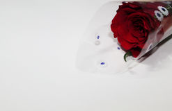 White background with a Rose. Background template royalty free stock photo