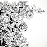 White background with vector drawing graphically climbing roses Royalty Free Stock Photos