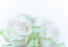 White background with white roses. White blurred background with white roses Stock Image