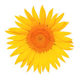 White background yellow sunflower Royalty Free Stock Images