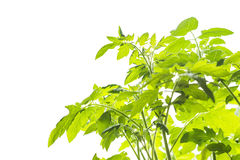 White background with young tomato plants Royalty Free Stock Photography