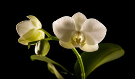 White backlit phalaenopsis Royalty Free Stock Photos
