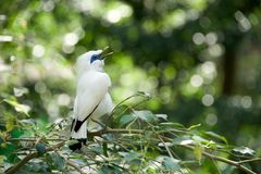 White Bali myna bird singing on branch Stock Image