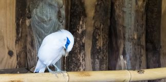 White bali myna starling sitting on a bamboo branch, a tropical and critically endangered bird from indonesia. A white bali myna starling sitting on a bamboo royalty free stock images