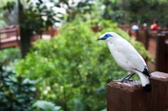 White Bali Mynah bird at the Edward Youde Aviary, Hong Kong Park. HONG KONG - JULY 17, 2013 - White Bali Mynah bird at the Edward Youde Aviary, Hong Kong Park royalty free stock image
