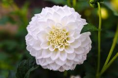 White Ball Dahlia Closeup Photography Royalty Free Stock Photos