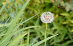 White ball flower. Green leafs green fields spring white ball Stock Photography