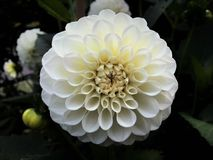 White Ball Pompon Dahlia Flower. Fractal pattern of a beautiful double blossom, petals curl delicately. Bright white bloom contrasts dark background Stock Image