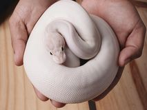 White ball python snake royalty free stock images