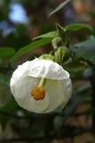 White ballerina flower Stock Photography