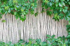 White bamboo fence texture background with green grape leaves Royalty Free Stock Photos