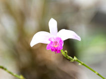 White Bamboo orchid (Arundina). Bamboo orchid with white petals and dark red center, flower with simple background, captured under natural environment Stock Image