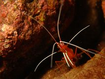 White-Banded Cleaner Shrimp Royalty Free Stock Image