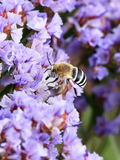 White-banded Digger Bee Stock Images