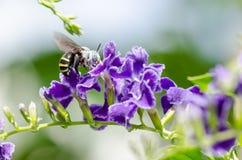 White-Banded Digger Bee (Amegilla quadrifasciata) Stock Image