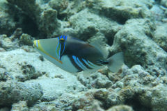 White-banded triggerfish Stock Images