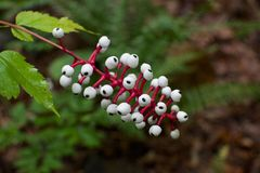 White Baneberry. Baneberry contains cardiogenic toxins than can have an immediate sedative effect on human cardiac muscle Stock Photo