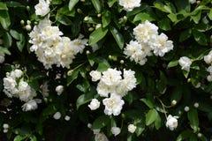 White Banksia rose