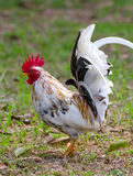 White Bantam Royalty Free Stock Image