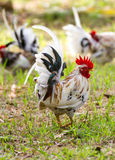 White Bantam Royalty Free Stock Photography