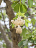 White Baobab flower (Adansonia digitata), rainy season Stock Photos