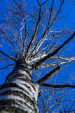 White bark American sycamore tree Platanus occidentalis with spiky fruit in winter against blue sky Royalty Free Stock Photography