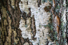White bark and moss background Royalty Free Stock Photos