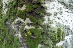 White bark of silver poplar with moss. White bark of silver poplar tree with moss Stock Photography
