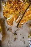 White bark tree Royalty Free Stock Photos