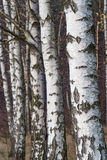 White bark on trees in birch forest Stock Photography