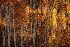 White bark and yellow leaves Royalty Free Stock Photo