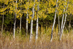 White barked trees and yellow leaves. Stock Images