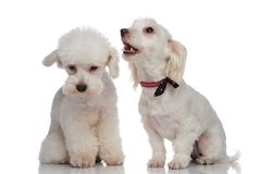 White barking bichon jumps to his friend`s defense. While sitting on a white background Stock Photography
