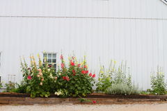 White barn and flowers. Mallow flowers growing in front of white barn Stock Photography