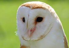 White Barn Owl with dark eyes Royalty Free Stock Photo
