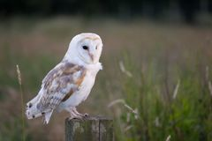 White barn owl Royalty Free Stock Photo