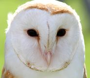 White barn owl with two dark eyes on backlight Royalty Free Stock Image