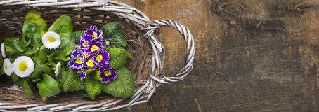 White Basket with spring flowers, primrose and  daisy Stock Image