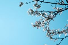 White Bauhinia variegata flower on branch and blue sky stock photo